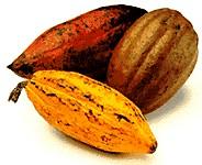 Variétés de cacao : Criollos, Forasteros, Trinitarios