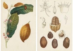 Planche du cacaoyer