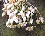 fleur du cacaoyer