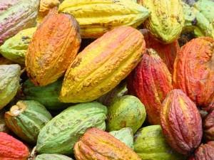Cabosse de cacaoyer